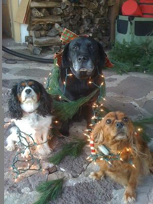 Christmas 2011 - The Tale Of Three Not-So-Wise Bird Dogs!