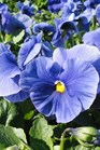 /Images/johnsonnursery/Products/Annuals/P__Delta_True_Blue_11-2-11_003_for_web.JPG