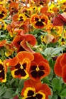 /Images/johnsonnursery/Products/Annuals/P__Fire_for_web.JPG