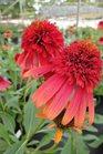 /Images/johnsonnursery/Products/Perennials/Echinacea_Hot_Papaya.jpg