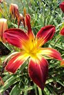 /Images/johnsonnursery/Products/Perennials/HMR_Ruby_Spider_-_JCRA_-_6-23-14_051.JPG