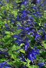 /Images/johnsonnursery/Products/Perennials/Salvia_Black_and_Blue_for_web_101201.jpg