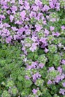 /Images/johnsonnursery/Products/Perennials/T__Elfin_-_about.jpg