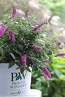 /Images/johnsonnursery/Products/Woodies/BDD_Pink_Micro_Chip_-_PW.jpg