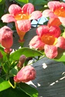 /Images/johnsonnursery/Products/Woodies/B__Tangerine_Beauty_for_web.jpg