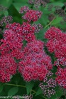 /Images/johnsonnursery/Products/Woodies/Spirea_Double_Play_Red.jpg