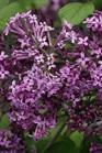 /Images/johnsonnursery/Products/Woodies/Syringa_Bloomerang_Dark_Purple_-_PW.jpg