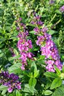 /Images/johnsonnursery/product-images/Buddleia Miss Violet071216_3acxmgpza.jpg