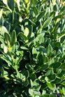 /Images/johnsonnursery/product-images/Buxus Green Mountain072516_6h78uchwx.jpg