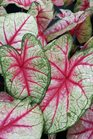 /Images/johnsonnursery/product-images/Caladium White Queen2060216_k5odhp09w.jpg