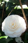 /Images/johnsonnursery/product-images/Camellia April Dawn040604_7gmm4trz1.jpg