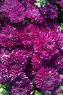 /Images/johnsonnursery/product-images/Chrysanthemum Adiva Purple3091311_g3busw4xb.jpg