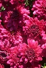 /Images/johnsonnursery/product-images/Chrysanthemum Galatino101801_hqstu1o44.jpg