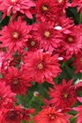 /Images/johnsonnursery/product-images/Chrysanthemum Vega Red_zterge5kc.jpg