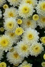 /Images/johnsonnursery/product-images/Chrysanthemum White Padre2100405_7gj7anjut.jpg