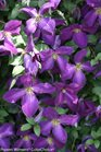 /Images/johnsonnursery/product-images/Clematis Happy Jack Purple 3_jrq25x8x4.jpg