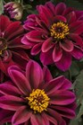 /Images/johnsonnursery/product-images/Dahlia Dahlightful Crushed Crimson_ogb0bm0tn.jpg