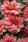 /Images/johnsonnursery/product-images/Dahlia Dahlightful Sultry Scarlet_17foh7rub.jpg
