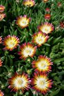 /Images/johnsonnursery/product-images/Delosperma Jewel of the Desert Ruby040816_k5dx0kd8q.jpg