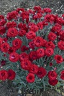 /Images/johnsonnursery/product-images/Dianthus Fruit Punch Maraschino_p7b9u65gx.jpg