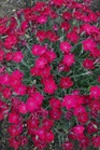 /Images/johnsonnursery/product-images/Dianthus Paint the Town Magenta_10z04bekn.jpg