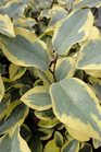 /Images/johnsonnursery/product-images/Elaeagnus Olive Martini2052213_52s8b9ahj.jpg