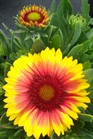 /Images/johnsonnursery/product-images/Gaillardia Arizona Sun2042605_buv33wigh.jpg