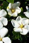 /Images/johnsonnursery/product-images/Gardenia Klines Hardy050900_4wizsezjt.jpg