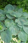 /Images/johnsonnursery/product-images/Hosta Elegans_f36l0nt1j.jpg