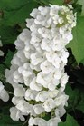 /Images/johnsonnursery/product-images/Hydrangea Alice - onlineplantguide_zbhxst47z.jpg