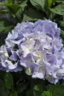 /Images/johnsonnursery/product-images/Hydrangea All Summer Beauty2061013_l5j4piqll.jpg