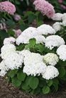 /Images/johnsonnursery/product-images/Hydrangea Invincibelle Wee White_rlwtzu9ha.jpg