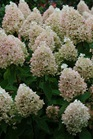 /Images/johnsonnursery/product-images/Hydrangea Sweet Summer_1sspac4gs.jpg