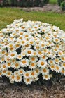 /Images/johnsonnursery/product-images/LEU Whoops A Daisy - gardencrossing_fx9x5jnpt.jpg