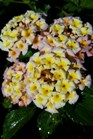 /Images/johnsonnursery/product-images/Lantana Bandana Peach3041117_m413expze.jpg