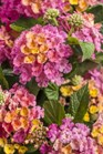 /Images/johnsonnursery/product-images/Lantana Luscious Royale Cosmo_lukpv6hta.jpg