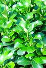 /Images/johnsonnursery/product-images/Ligustrum Rotundifolia_ntnw0476d.jpg