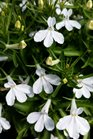 /Images/johnsonnursery/product-images/Lobelia Techno Heat Upright White2040816_f9k9xkidq.jpg