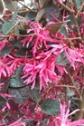 /Images/johnsonnursery/product-images/Loropetalum Pizazz011513_xscwv5nnb.jpg