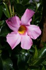 /Images/johnsonnursery/product-images/Mandevilla Bella Pink041416_h0mixcx4w.jpg