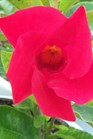 /Images/johnsonnursery/product-images/Mandevilla Sun Parasol Giant Crimson_an4jswrxx.jpg