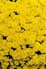 /Images/johnsonnursery/product-images/Mouria_yellow_ugc84fkiu.jpg