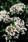 /Images/johnsonnursery/product-images/Pentas Starcluster White2062016_kcnecvs9b.jpg