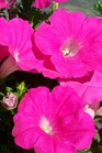 /Images/johnsonnursery/product-images/Petunia Easy Wave Pink2041411_94dpdp21q.jpg