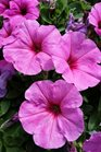 /Images/johnsonnursery/product-images/Petunia Potunia Plus Pinkalicious2040816_a5s24tmqb.jpg