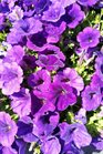 /Images/johnsonnursery/product-images/Petunia Supertunia Royal Velvet041217_hgbcavleu.jpg