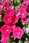 /Images/johnsonnursery/product-images/Petunia Supertunia Watermelon Charm041217_ikv6dzbec.jpg
