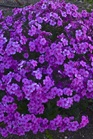 /Images/johnsonnursery/product-images/Phlox Cloudburst_7dqajq9gp.jpg