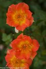 /Images/johnsonnursery/product-images/Rosa Oso Easy Paprika_ntrttrbpd.jpg