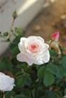 /Images/johnsonnursery/product-images/Rose-Brindabella-Touch-of-Pink-003-1-480x693_18tvpbqa1.jpg